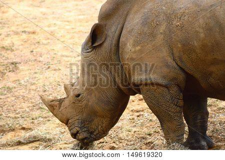 close up head shot rhinoceros animal rhino