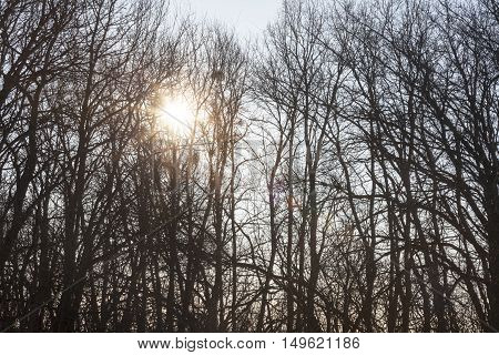 Silhouettes of the bare trees against the shining sun