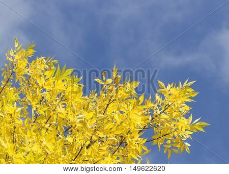 Autumn leaves with the blue sky background. Low angle view