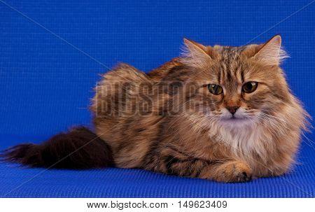 Siberian beautiful adult cat over blue background