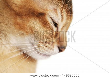 wild color abyssinian kitten 3 month closeup portrait over white background