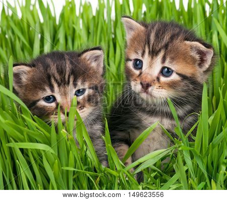 Cute little kittens in the bright green grass over white background