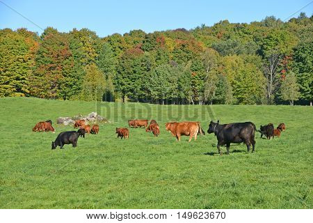 Brown and black cattles in field in front forest during fall season.