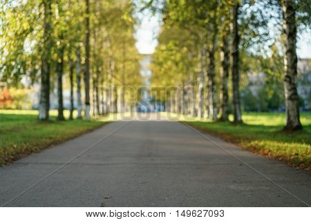 ground level photo of birch alley in autumn, focus close to the camera