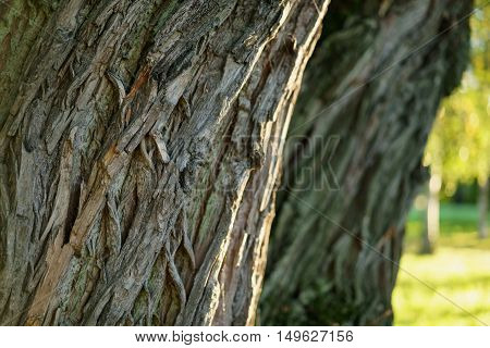 old willow tree trunk close up, shallow focus