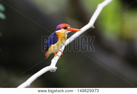 Dwarf Kingfisher (Ceyx erithaca) in nature at Kengkrajarn national park,Thailand