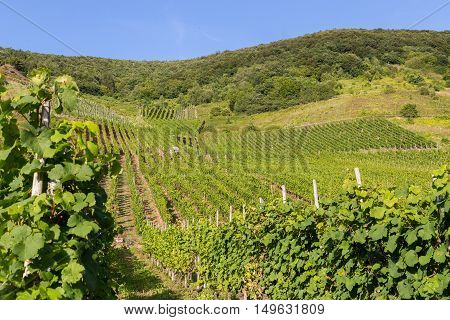 Vineyards on the Mosel in summer panorama