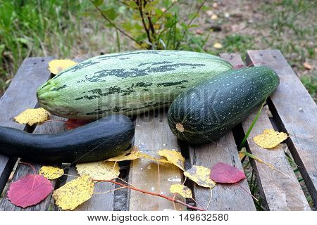 Autumn still-life with ripe vegetables. Squash, zucchini and colorful fall leaves around on old wooden table front view closeup