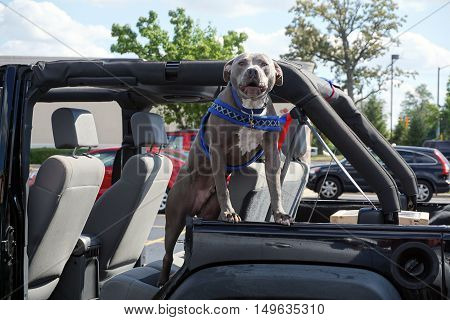 An American Staffordshire bull terrier guards a vehicle in the parking lot of a strip mall in Bolingbrook, Illinois.