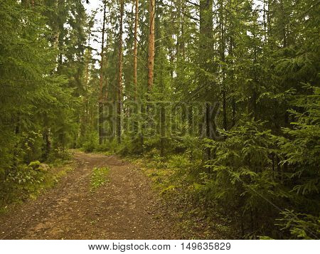 walk through the forest the trees and green pines along the road