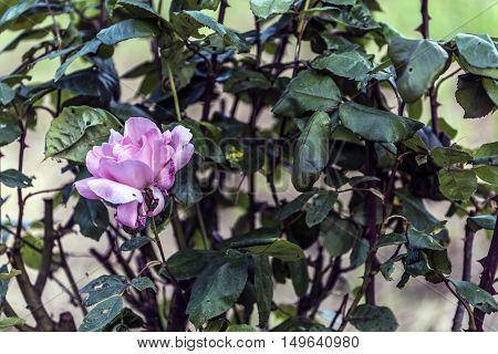 big pink rose flower outdoor macro closeup
