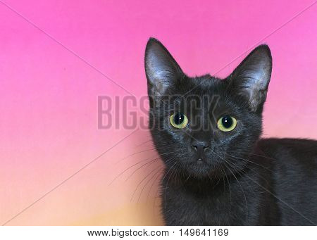 Portrait of a black domestic short hair kitten with yellow green eyes isolated on a mottled pink and yellow background cat looking at viewer