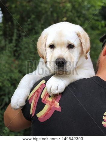 A Little Labrador Puppy On A Shoulder