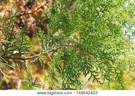 Green thuja tree cones on the branch