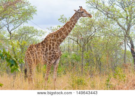 Giraffe Profile In The Bush, Close Up And Portrait. Wildlife Safari In The Kruger National Park, The