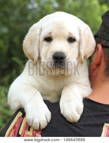 Cute Little Labrador Puppy On A Shoulder