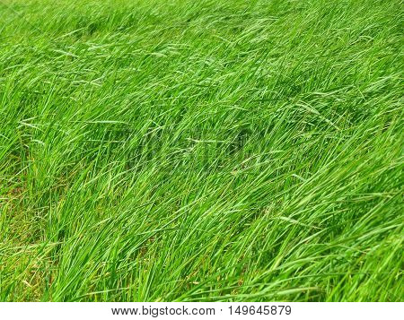 Bright Green grasses blowing in the grass field on windy day