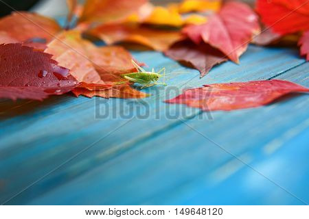 Grasshopper in the colorful autumn leaves on blue and brown wooden background