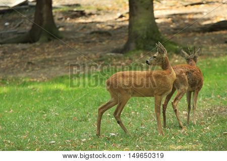 Two deers on a green glade in the autumn forest