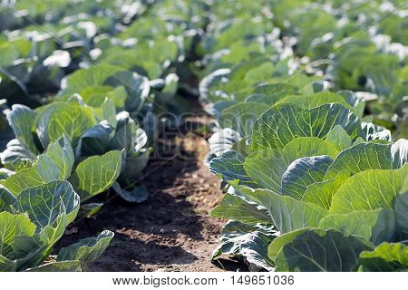 Big cabbage in the garden. Freshly growing cabbage field.