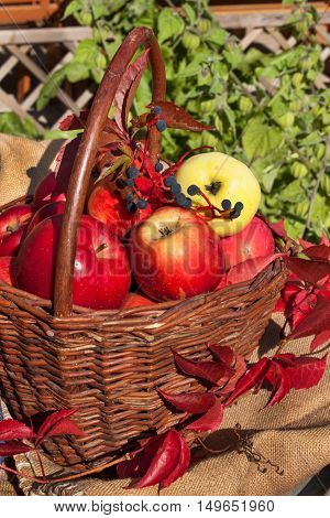 Basket with apples in the sunny garden. Autumn harvest fruit.