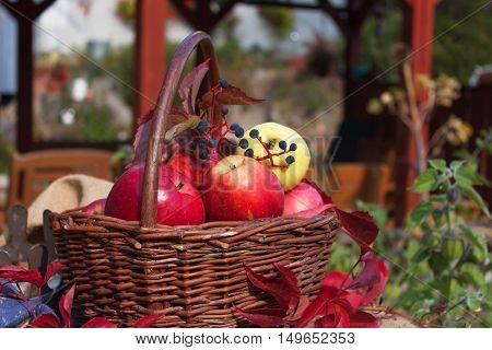 Basket with apples in the garden. Autumn harvest fruit. Collecting apples.