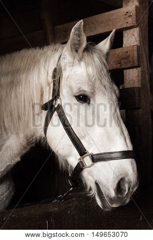 A white horse stands inside a stable.
