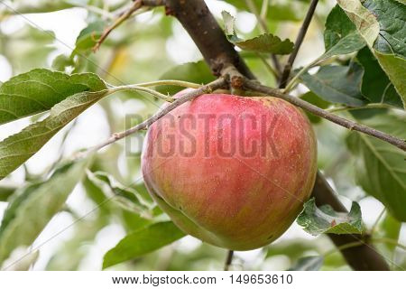Red apple on a tree with green leaves in autumn in Moldova, shallow focus close up