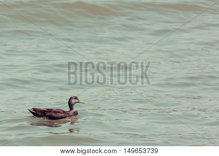 A brown duck swims through the water