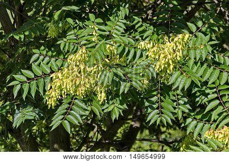 Leaves and seed at  tree of heaven or Ailanthus altissima, Sofia, Bulgaria