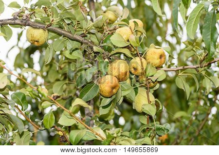 Yellow ripe pears on a tree with green leaves in autumn in Moldova, close up