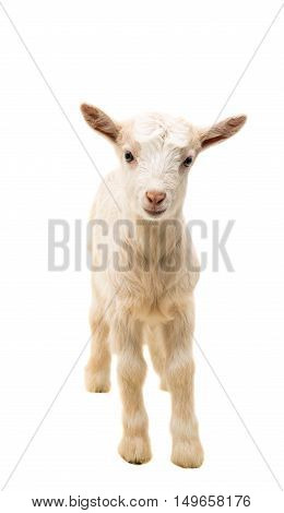 looking goat little isolated on white background