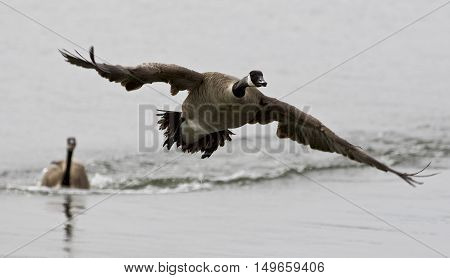 Beautiful isolated photo with a Canada goose flying away from his rival