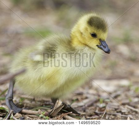 Beautiful isolated photo of a cute chick of Canada geese walking somewhere