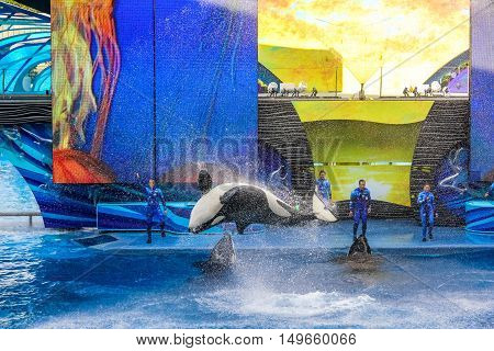Orlando, Florida, United States - April 22, 2012: Tilikum, the killer whale, performs in the shamu show at Seaworld. Tilikum is the largest and most famous orca hosted at Seaworld.