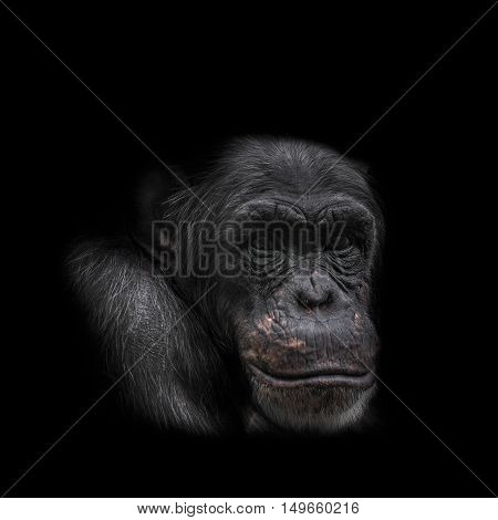 Thinking chimpanzee portrait close up in 2016