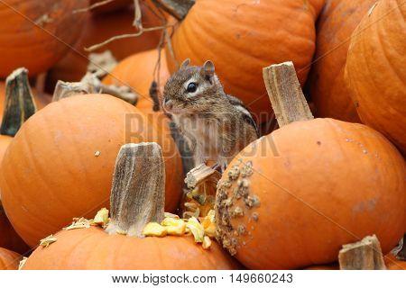 A little eastern chipmunk sitting in pumpkins at a pumpkin patch in Massachusetts in Fall.