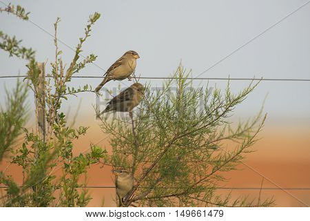 Three House Sparrows (Passer domesticus) sitting on a Wire and in a Shrub