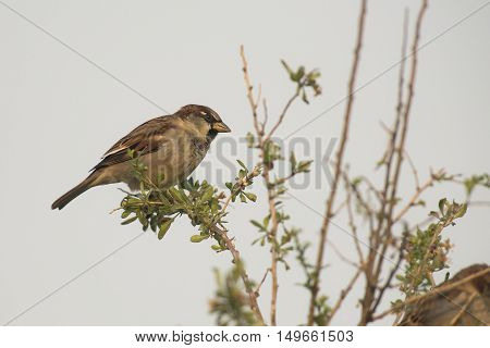 House Sparrow (Passer domesticus) male perched on a Branch of a Shrub