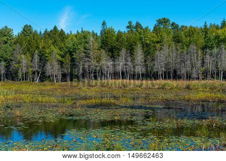 A lake with colorful plants grasses and lily pads in an opening in the forest.