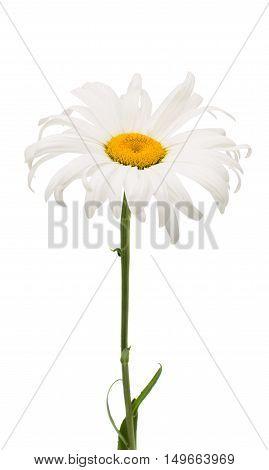 daisy single elegance on a white background