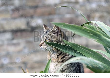 striped cat posing behind iris plant leaves