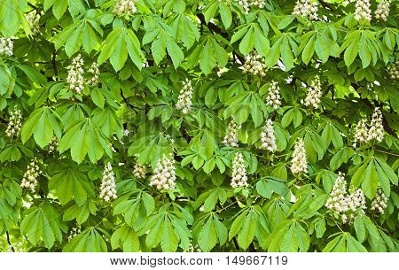 Horse chestnut blooming background, outdoor shoot