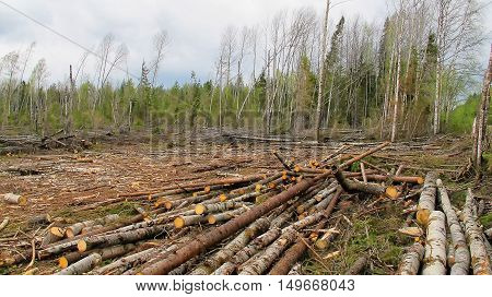 Cut down and thrown forest loggers environmental disaster. deforestation