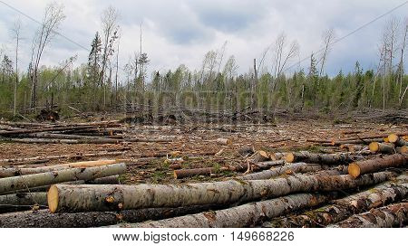 Edge Of The Forest Filled Up By Logs