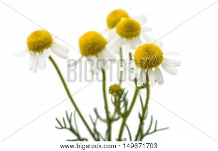 Medical daisy chamomile, tea on a white background