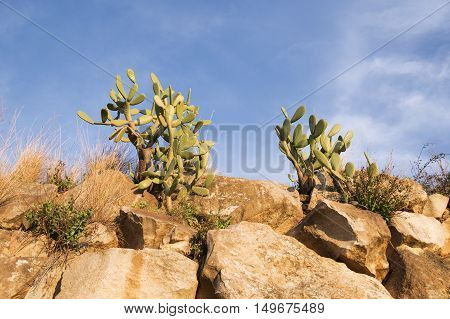 Green cactuses in the bright sunset light