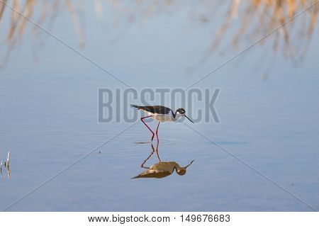 Black-necked Stilt (himantopus Mexicanus).
