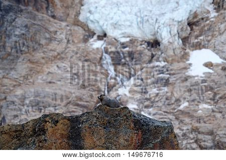 Marmot on rocks, glacier and waterfalls. Jasper National Park. Canadian Rocky Mountains. Alberta. Canada.