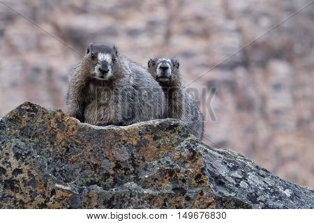 Two Hoary Marmots on rocks. Banff National Park. Canadian Rocky Mountains. Alberta. Canada.